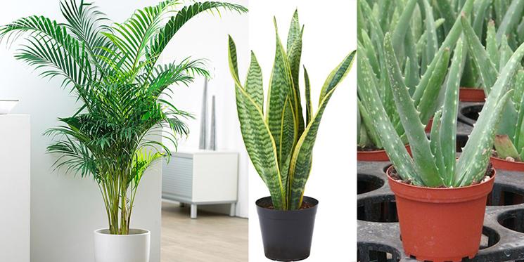 Areca Palm, Snake Plant, Aloe Vera