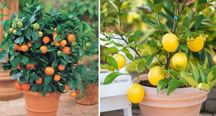 Dwarf Calamondin Orange, Meyer Lemon