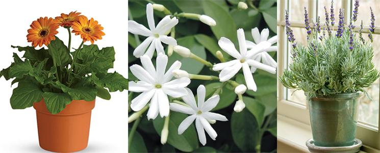 Gerbera Daisy, Jasmine, Lavender