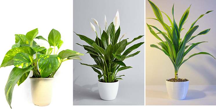 Golden Pothos, Peace Lily, Dracaena