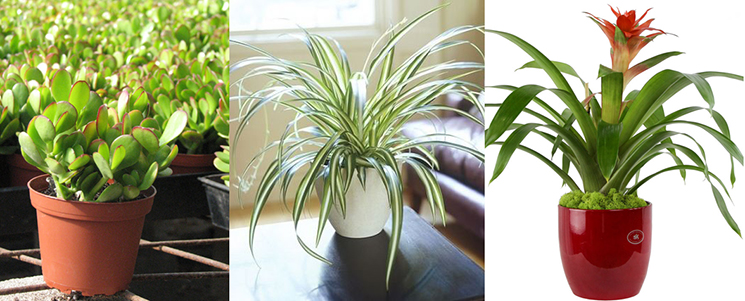 Jade Plant, Spider Plant, Bromeliad