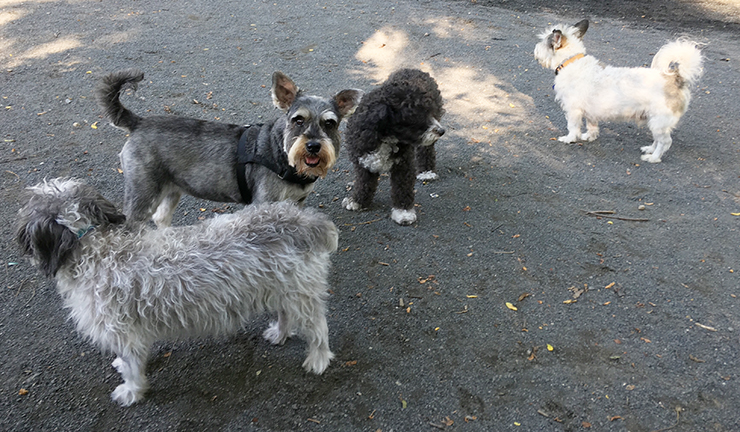 Murphy the Schnauzer and friends